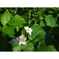 男爵の花は白です。
