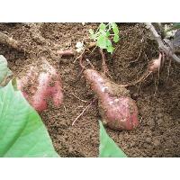 赤土の土壌です。