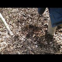 筍のランナー(地下茎)をスコップで切る。